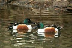 Δύο βόρειες Anas χουλιαράδων αρσενικές πάπιες clypeata που κολυμπούν στη λίμνη, σκηνή από την άγρια φύση, Ελβετία, κοινό πουλί στ στοκ φωτογραφίες