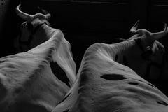 Δύο βόδια Στοκ φωτογραφίες με δικαίωμα ελεύθερης χρήσης