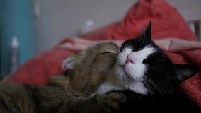 Δύο γάτες βρίσκονται στο κρεβάτι, κάποιος γλείφει, άλλο παίρνει την ευχαρίστηση HD, 1920x1080, σε αργή κίνηση απόθεμα βίντεο