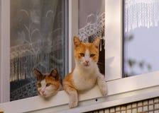 Δύο γάτες κάθονται στο παράθυρο Στοκ Εικόνες