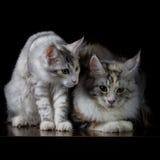 Δύο γάτες σε έναν πίνακα Στοκ Εικόνα