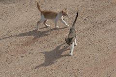 Δύο γάτες Στοκ Εικόνες