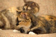 δύο γάτες tricolor Στοκ φωτογραφίες με δικαίωμα ελεύθερης χρήσης