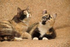 δύο γάτες tricolor Στοκ Φωτογραφίες