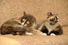 δύο γάτες tricolor Στοκ Εικόνα