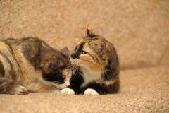 δύο γάτες tricolor Στοκ εικόνες με δικαίωμα ελεύθερης χρήσης