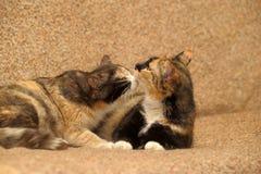 δύο γάτες tricolor Στοκ εικόνα με δικαίωμα ελεύθερης χρήσης