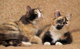 δύο γάτες tricolor Στοκ Εικόνες