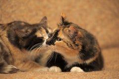 δύο γάτες tricolor Στοκ φωτογραφία με δικαίωμα ελεύθερης χρήσης
