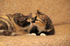 δύο γάτες tricolor Στοκ Φωτογραφία