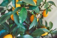 Δύο γαμήλια δαχτυλίδια στα πορτοκάλια Πορτοκαλιά πορτοκαλιά γαμήλια έννοια Στοκ φωτογραφία με δικαίωμα ελεύθερης χρήσης