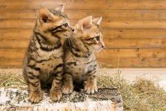 Δύο γατάκια κάθονται και εξετάζουν την ελεύθερη θέση για την επιγραφή με το δικαίωμα στοκ εικόνες