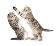Δύο γατάκια που εγκιβωτίζουν ή που παίζουν Στοκ Εικόνα