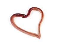 Δύο γεωσκώληκες με μορφή της καρδιάς που απομονώνεται στο άσπρο υπόβαθρο Στοκ Εικόνα
