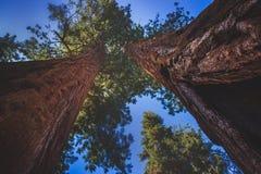 Δύο γιγαντιαία Sequoias στοκ εικόνες με δικαίωμα ελεύθερης χρήσης