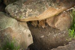 Δύο γκρίζα κουτάβια λύκων (Λύκος Canis) κρυφοκοιτάζουν έξω από το κρησφύγετο στοκ φωτογραφία με δικαίωμα ελεύθερης χρήσης