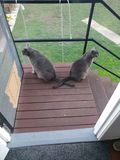 Δύο γκρίζες γάτες με τις διασχισμένες ουρές στοκ εικόνα με δικαίωμα ελεύθερης χρήσης