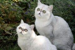 Δύο γκρίζες γάτες Στοκ Εικόνα