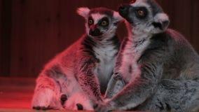 Δύο γκρίζοι κερκοπίθηκοι που κάθονται κοντά επάνω απόθεμα βίντεο
