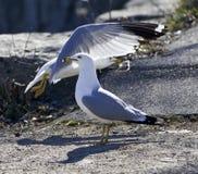 Δύο γλάροι στην ακτή Στοκ εικόνα με δικαίωμα ελεύθερης χρήσης