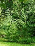 Δύο δέντρα αγριόπευκων στοκ εικόνες