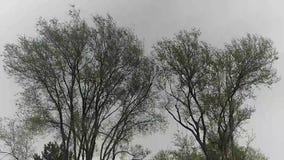 Δύο δέντρα που ταλαντεύονται στον αέρα φιλμ μικρού μήκους
