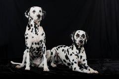Δύο δαλματικά σκυλιά στο μαύρο υπόβαθρο στοκ φωτογραφία