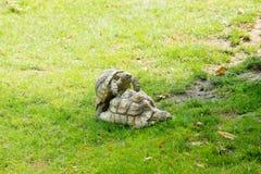 Δύο δασικές χελώνες που έρχονται σε σεξουαλική επαφή σε έναν ζωολογικό κήπο στοκ εικόνες