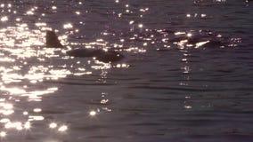 Δύο δελφίνια κατά τη διάρκεια του ηλιοβασιλέματος απόθεμα βίντεο