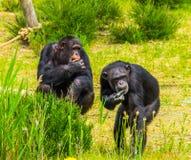 Δύο δυτικοί χιμπατζές που τρώνε τα τρόφιμα μαζί, αυστηρά διακυβευμένο specie αρχιεπισκόπων από την Αφρική στοκ φωτογραφία