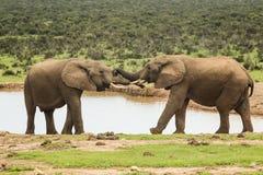 Δύο ελέφαντες σε μια τρύπα ύδατος Στοκ Φωτογραφίες