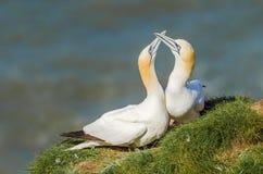 Δύο ενήλικα gannets στο έδαφος στοκ φωτογραφία
