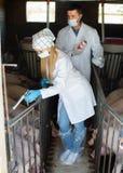 Δύο ενήλικοι κτηνίατροι στα άσπρα παλτά στο χοιροστάσιο Στοκ Φωτογραφία