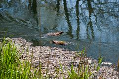 Δύο ενυδρίδες κολυμπούν Στοκ φωτογραφία με δικαίωμα ελεύθερης χρήσης