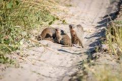 Δύο ενωμένο mongoose στο δρόμο Στοκ Φωτογραφία