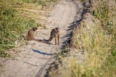 Δύο ενωμένο mongoose στο δρόμο Στοκ φωτογραφία με δικαίωμα ελεύθερης χρήσης