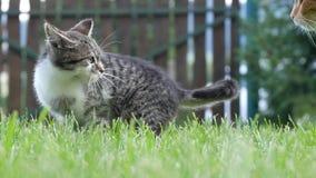 Δύο εσωτερικές και εύθυμες γάτες που παίζουν στη χλόη στον εγχώριο κήπο απόθεμα βίντεο