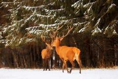 Δύο ευγενή αρσενικά ελαφιών στα πλαίσια ενός όμορφου δασικού φυσικού χειμερινού τοπίου χειμερινού χιονιού background christmas im στοκ εικόνα