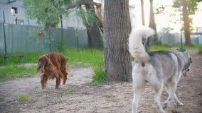 Δύο ευτυχή σκυλιά που παίζουν υπαίθρια - ιρλανδικός ρυθμιστής και γεροδεμένος, σε αργή κίνηση απόθεμα βίντεο
