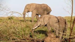 Δύο ευτυχείς ελέφαντες Στοκ εικόνες με δικαίωμα ελεύθερης χρήσης