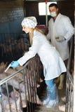 Δύο ευτυχείς κτηνίατροι στα άσπρα παλτά στο χοιροστάσιο Στοκ Εικόνες