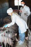 Δύο ευτυχείς κτηνίατροι στα άσπρα παλτά στο χοιροστάσιο Στοκ Εικόνα
