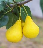 Δύο εύγευστα και ώριμα αχλάδια στον κλάδο δέντρων Στοκ Εικόνες