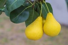 Δύο εύγευστα και ώριμα αχλάδια στον κλάδο δέντρων Στοκ Εικόνα
