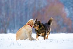 Δύο εύθυμα σκυλιά που παίζουν υπαίθρια στο χιονώδη τομέα στοκ εικόνα