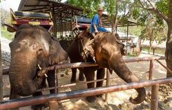 Δύο ελέφαντες που τρώνε τα φρούτα στο έδαφος για τα ζώα στο ταϊλανδικό κέντρο συντήρησης ελεφάντων Στοκ Εικόνες