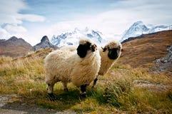 Δύο ελβετικά sheeps Blacknosed (Ovis aries), ελβετικές Άλπεις Στοκ Εικόνα