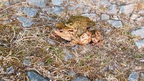 Δύο ζευγαρώνοντας βάτραχοι στην πέτρα και τη χλόη, κλείνουν επάνω απόθεμα βίντεο