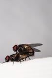 Δύο ζευγαρώνοντας μύγες Στοκ εικόνες με δικαίωμα ελεύθερης χρήσης