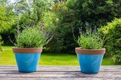 Δύο ζωηρόχρωμα μπλε δοχεία λουλουδιών σε έναν πίνακα κήπων σε έναν πράσινο κήπο Στοκ Εικόνες